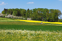 CHE, Schweiz, Kanton Thurgau, bei Steckborn im Kanton Thurgau, Blumenwiese und Apfelbluete, Bauer mit Traktor maeht die Wiese | CHE, Switzerland, Canton Thurgau, near Steckborn, flower meadow, apple blossom, farmer with tractor mowing gras