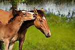 Foal nuzzling Mom's ear, by the water, Pryor Mountains, Wyoming