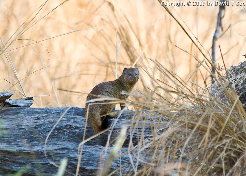Large Grey Mongoose, South Luangwa Park, Zambia