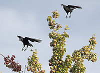 Northwestern crows arrive at an apple tree.