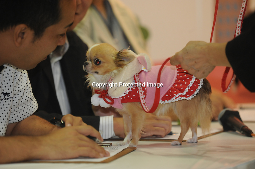 A Chiuaua mix breed at the Osaka Pet Expo fashion is looked at judges , Osaka, Japan.<br /> <br /> 25-Sept-11<br /> <br /> Photo by Richard Jones