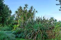 France, Manche (50), Vauville, Jardin botanique du château de Vauville, allée bordée de cordylines australes (Cordyline Australis), lin de Nouvelle-Zélande