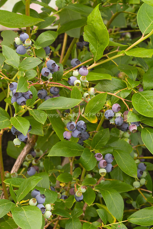Blueberry Bush with fruits