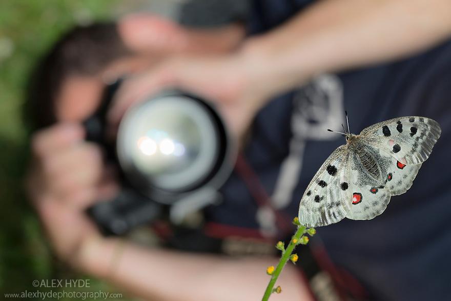 Apollo butterfly (Parnassius apollo) being photographed by wildlife photographer. Nordtirol, Austrian Alps, Austria, July.