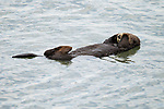 Sea Otter (Enhydra lutris) male sleeping, Elkhorn Slough, Monterey Bay, California