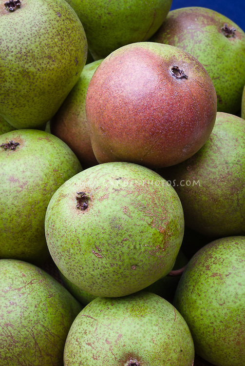 Pyrus communis Pear 'Beurre Henri Courcelle' fruits, ripe and harvested