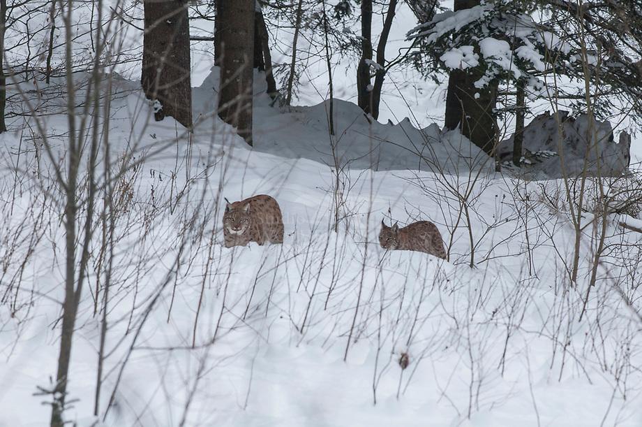 Lynx (Lynx lynx), vrouwtje met een jaarling  in de sneeuw