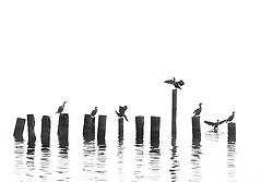 A flock of birds gather on the remnants of an old dock early on a foggy morning.