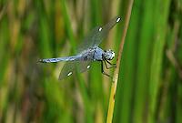 389220013 a wild male comanche skimmer libellula comanche perches on a reed near a lake in yuma county arizona