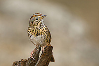 578820033 a wild lincoln's sparrow melospiza lincolnii perches on a tree stump in the lower rio grande valley of south texas united states