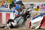 David Baxley crashes into the center divider during an ostrich race at media day at the 54th International Camel Races in Virginia City, Nev., on Friday, Sept. 6, 2013.  Both were uninjured.<br /> Photo by Cathleen Allison