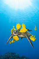 green sea turtle, Chelonia mydas, endagered species, being cleaned of algae by yellow tangs, Zebrasoma flavescens, Puako, Kohala Coast, Big Island, Hawaii, USA, Pacific Ocean