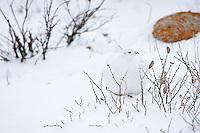 00839-00504 Willow Ptarmigan (Lagopus lagopus) in winter, Churchill Wildlife Management Area, Churchill, MB Canada
