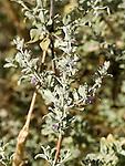 Desert lavender, Hyptis emoryi, flowers of desert shrub