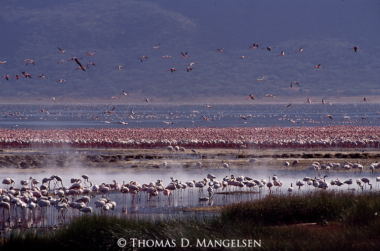 Large Flamingo flock in Africa.
