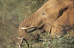 An African Elephant ((Loxodonta africana)) using trunk to grasp food, Samburu National Game Reserve, Kenya.