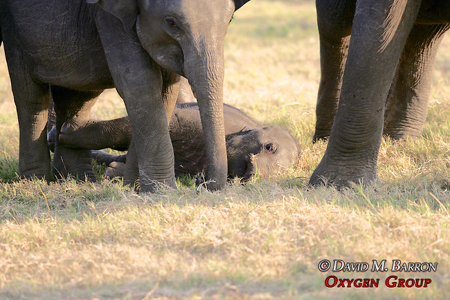 Asian Elephants With Baby Elephant Lying Down, Minneriya National Park
