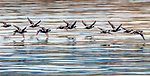 USA, Alaska, Glacier Bay National Park, harlequin ducks (Histrionicus histrionicus) in flight