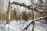 Snapped trees in forest along the Mt Tecumseh Trail in Waterville Valley, New Hampshire during the  winter months.