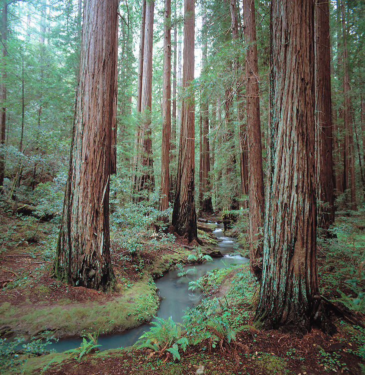 stream flowing through old growth redwoods in Montgomery Woods, Mendocino