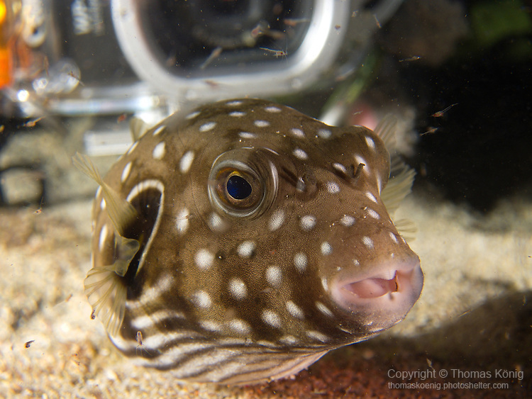 Kenting, Taiwan -- Reticulated pufferfish on a night dive.<br /> The poor pufferfish beats a hasty retreat from the bright strobes of the approaching diver in the back