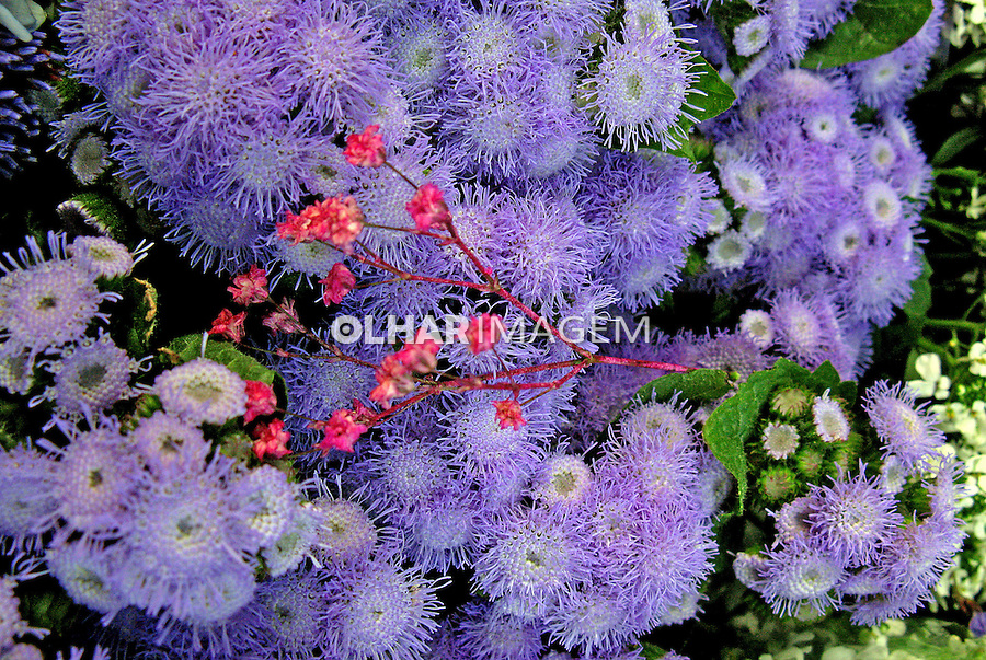 Flores. Agerato, Celestina ( Ageratum houstonianum). SP. Foto de Manuel Lourenço.