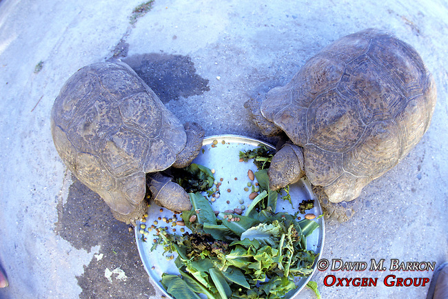 Leopard Tortoises Eating