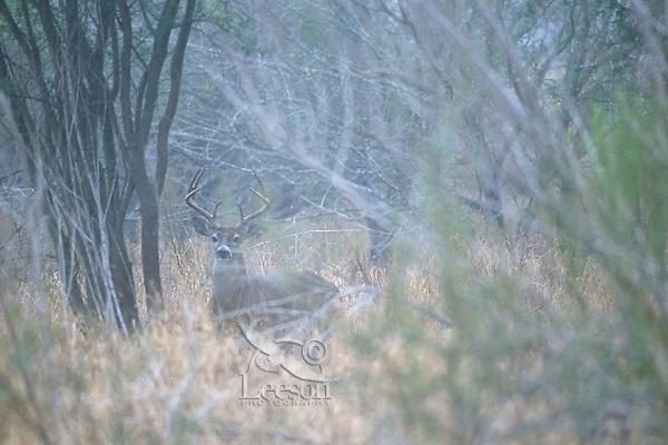 White-tailed deer (Odocoileus virginianus) buck.  Late fall.