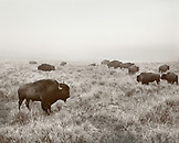 USA, Wyoming, bison grazing in Hayden Valley, Yellowstone National Park (B&W)