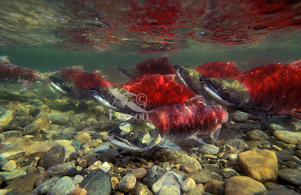 Sockeye Salmon migrating upstream to spawning grounds..Female surrounded by males..Sockeye turn red after they leave salt water and move into fresh water..Adams River, British Columbia. Pacific Coast..(Oncorhynchus nerka).