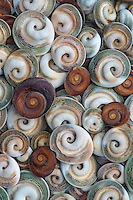 Snail Operculum