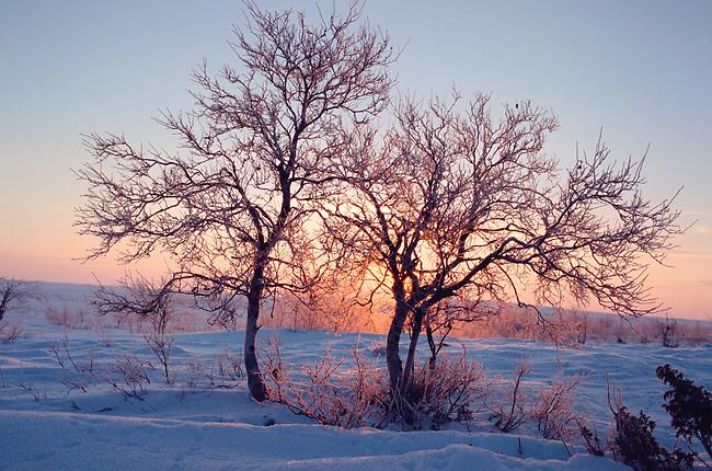 Birch trees on the tundra at sunrise near Lovozero, Murmansk, NW Russia