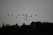 a silhouette of a flock of canada Geese flying in sky above  forest