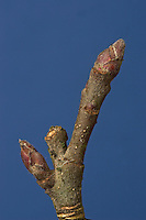 Kultur-Apfelbaum, Apfel - Baum, Knospen, Malus domestica, Apple, Pommier commun