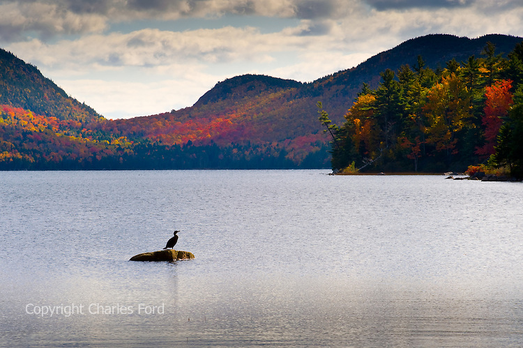 Afternoon scene of Fall colors and bird at Eagle Lake, Acadia National Park, Maine.