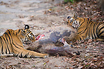17 months old Bengal tiger cubs on fresh sambar deer kill, was killed on road a few minutes earlier, early morning, dry season