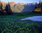 Olympic National Park, WA    /<br /> Yellow glacier lillies emerge after summer snow melt on hillsides near Obstruction Point with the Olympic Mountains bathed in evening light