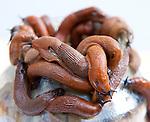 Brussels-Belgium - September 15, 2013 -- Rote Wegschnecken (Arion rufus), Pulmonata snails -- Photo: © HorstWagner.eu