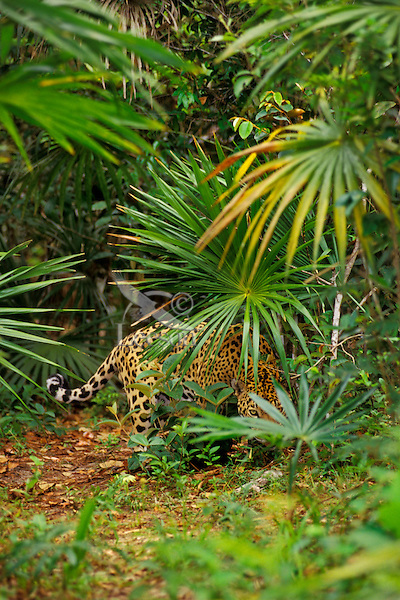 Jaguar in Central American tropical jungle.