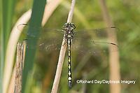 06496-00217 Arrowhead Spiketail (Cordulegaster obliqua) male Little Shoal Creek Fen Washington Co. MO