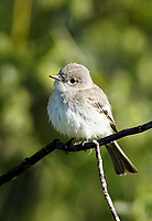 Flycatcher - Gray