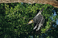 Golden-fronted Woodpecker, Melanerpes aurifrons, male in flight, Willacy County, Rio Grande Valley, Texas, USA