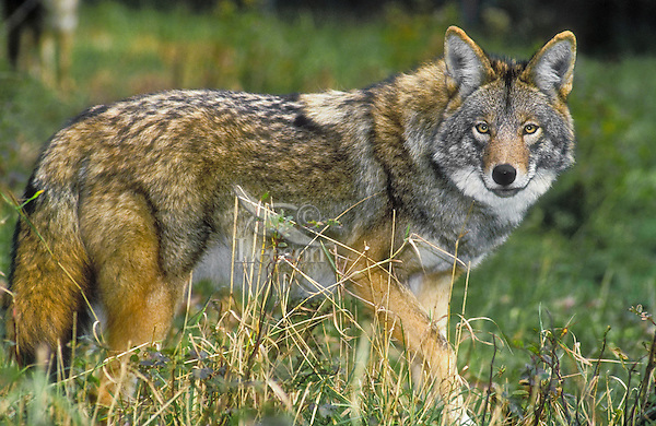 Eastern Coyote (Canis ...
