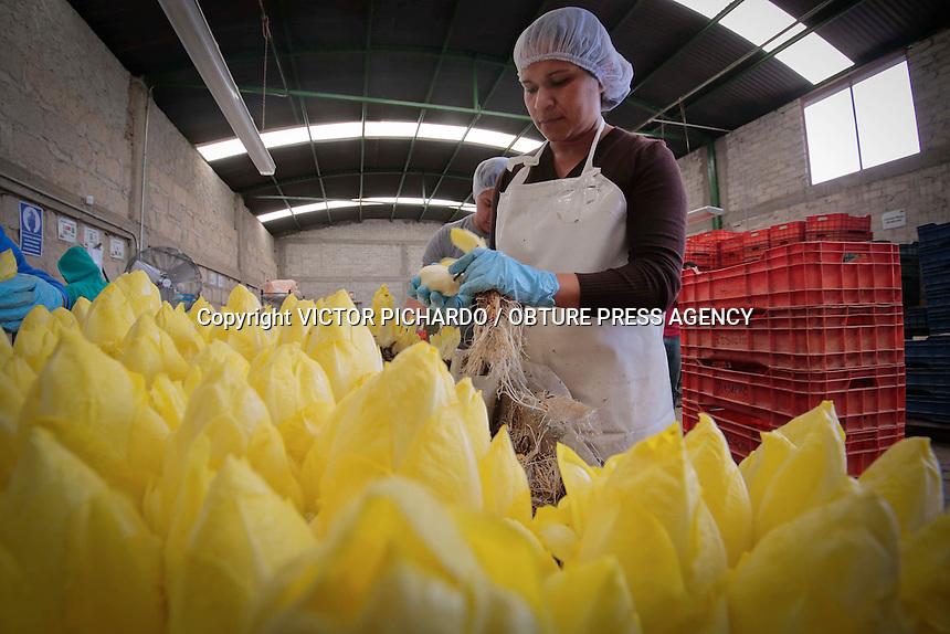 FOTORREPORTAJE<br /> ENDIVIA QUERETANA  ES PRODUCTO DE EXPORTACI&Oacute;N <br /> La comunidad de Noria Nueva del municipio de Pedro Escobedo, en  Quer&eacute;taro, es el lugar en el que productores queretanos dedicados al cultivo de hortalizas y esp&aacute;rragos decidieron iniciar con la producci&oacute;n de la Endivia convirti&eacute;ndose hasta ahora en los &uacute;nicos exportadores de M&eacute;xico al continente europeo.<br /> La Endivia es una hortaliza bi anual, poco conocida entre los mexicanos, su nombre cient&iacute;fico es &ldquo;Chichorium Intybus&rdquo;, tambi&eacute;n conocida en otros pa&iacute;ses como Escarola o Achicoria. Esta hortaliza posee un sabor ligeramente amargo y es utilizada en muchos platillos gourmet de la cocina europea de ah&iacute; que la demanda de la Endivia sea muy alta en pa&iacute;ses europeos. <br /> El cultivo de la endivia se realiza en dos etapas. La primera se lleva a acabo en el campo, al aire libre, donde se siembra para producir las ra&iacute;ces; este proceso dura aproximadamente 120 d&iacute;as. Una vez listas son extra&iacute;das, lavadas y desinfectadas meticul&oacute;samente para ser colocadas seg&uacute;n su tama&ntilde;o o di&aacute;metro en cajones de hidropon&iacute;a. <br /> La segunda etapa inicia al cubrir los cajones hidrop&oacute;nicos apilados uno sobre otro en tandas de 5 o seis, cubiertos por pl&aacute;stico, para finalmente ser colocadas en una c&aacute;mara fr&iacute;a y oscura durante poco mas de 90 d&iacute;as en donde es sometida a un proceso constante de riego hasta lograr el brote de hojas de la endivia. La ausencia de luz en el proceso otorga a esta hortaliza una decoloraci&oacute;n que culmina en el color blanco y ligeramente verduzco.  <br /> El proceso de cosecha de la endivia se realiza al sacarla los cajones hidrop&oacute;nicos para separar la ra&iacute;z del producto final. Una vez obtenidas las endivias son lavadas y desinfectadas nuevamente para luego ser empacadas en m&uacute;ltiples pre