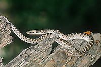 456000002 a wild texas night snake hypsiglena forquata jani a mildly venomous rear-fanged snake senses the environment with its tongue while coiled on a dead mesquite snag in the lower rio grande valley of south texas united states