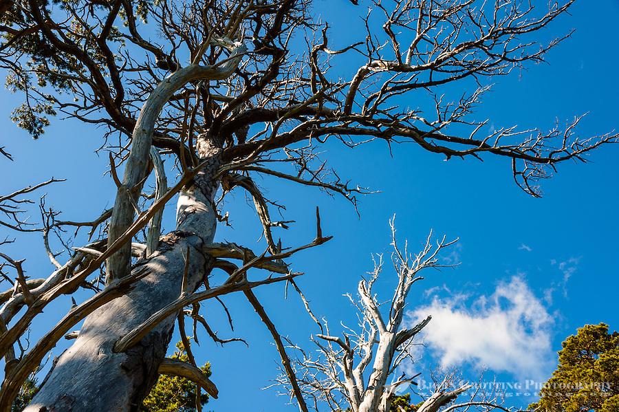 Sweden, Gotska Sandön national park. Around Tärnudden. Old tree.