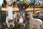 Jackass family with painted burro, gray burro and baby white burro in a field with trees, goat, South Carolina.