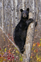 Black Bear cub (ursus americanus) clinging to the top of an old tree stump near Riding Mountain National Park