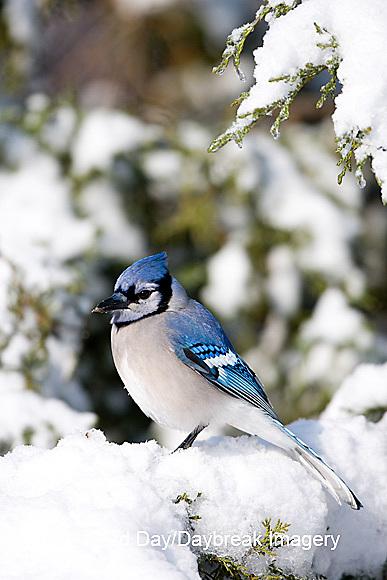 01288-050.10 Blue Jay (Cyanocitta cristata) in Keteleeri Juniper (Juniperus keteleeri) in winter, Marion Co. IL