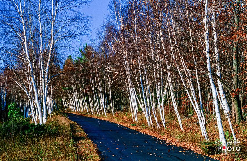 A birch tree lined road in Door County, Wisconsin.